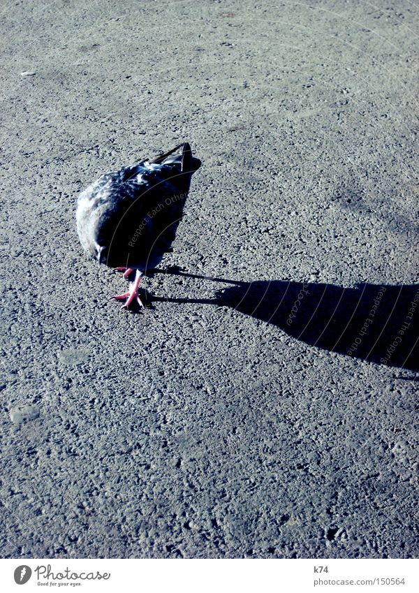 Street Bird To go for a walk Feather Asphalt Traffic infrastructure Pigeon Beak Tar Claw