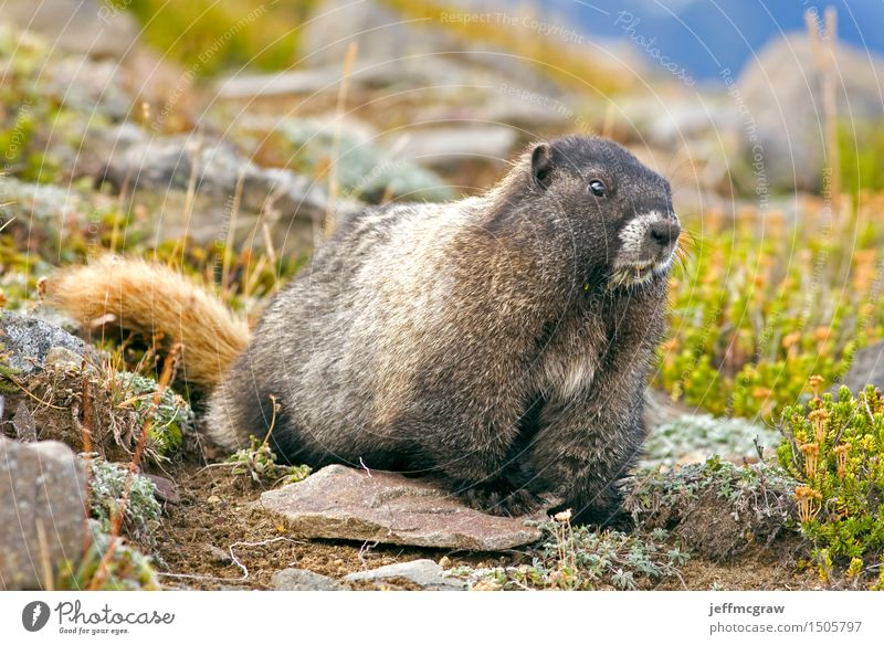 Marmot Nature Plant Landscape Animal Mountain Environment Meadow Grass Wild animal Bushes Crawl