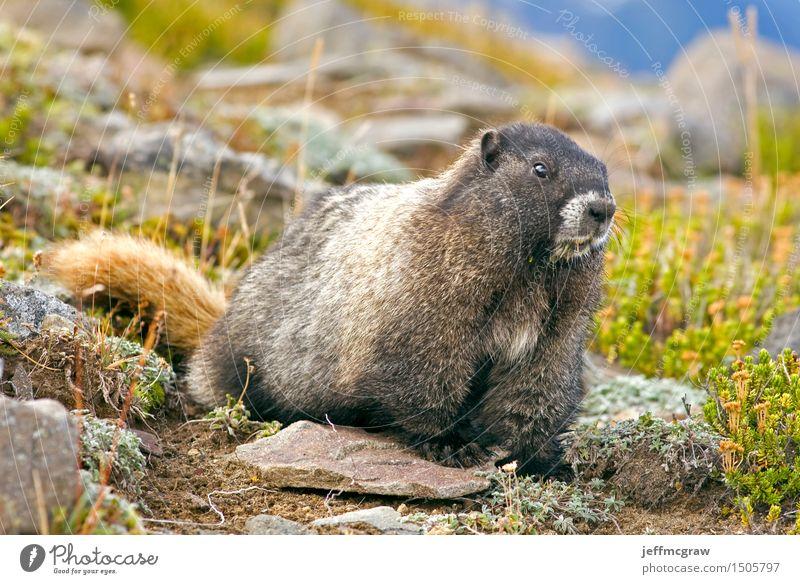 Marmot Nature Plant Landscape Animal Mountain Environment Meadow Grass Wild animal Bushes Crawl