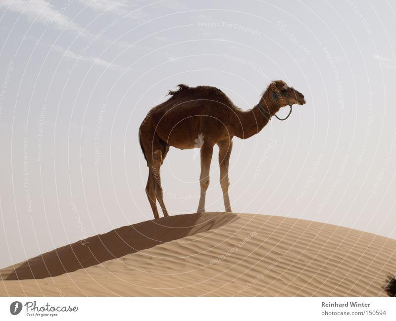 Camel up Dromedary Desert Dune Sand Sahara Mammal friendly camel