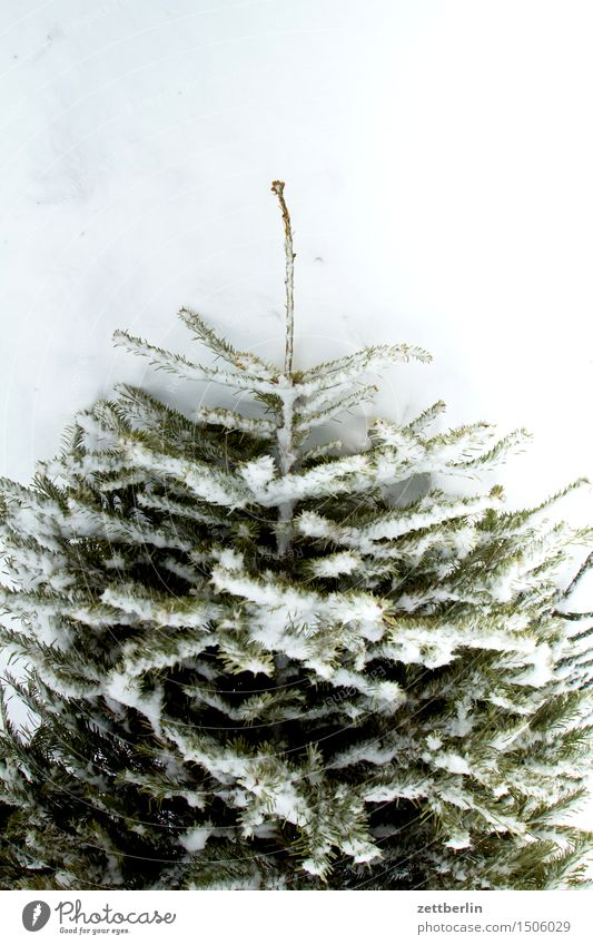 Christmas tree/slight return Anti-Christmas Cold Nature Virgin snow Snow Snow layer Thaw Winter Tree Coniferous trees Deserted