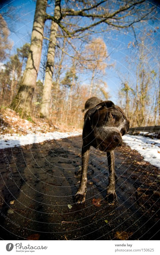 convulsed Dog Animal Shake Forest Lanes & trails Hunter Snow Winter Cold Mammal Purebred dog German Shorthair Rotate itch Street dog