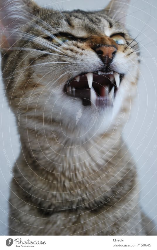 Cat Wild animal Mammal Pet Animal Domestic cat Snarl Show your teeth