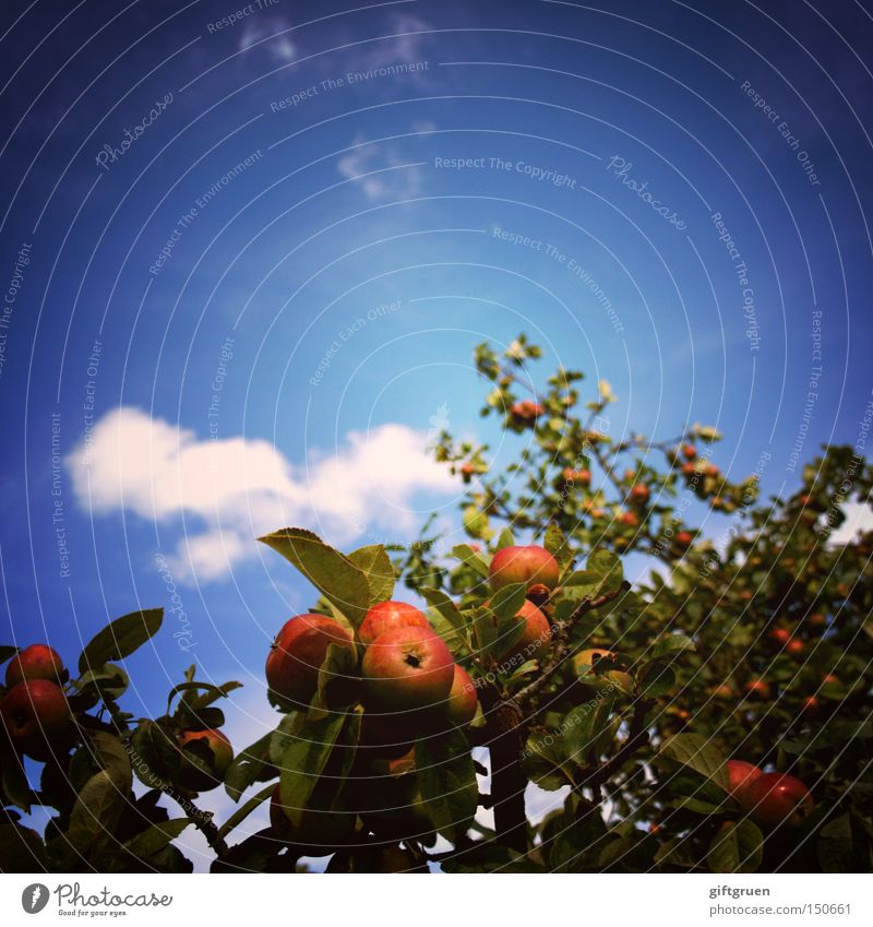 Sky Tree Summer Leaf Nutrition Autumn Fruit Worm's-eye view Apple Square Agriculture Fruit trees Harvest Vitamin Apple tree