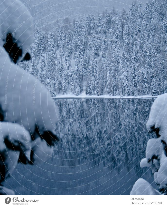 Tree Forest Snow Lake Switzerland Canton Graubünden Engadine Silsersee Lake Sils Lake