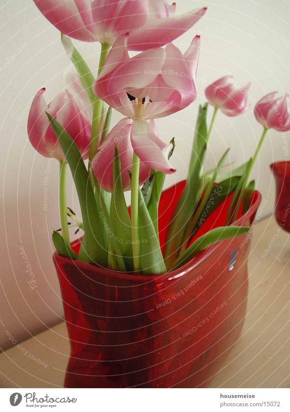 tulip Flower Tulip Red Water gafäß