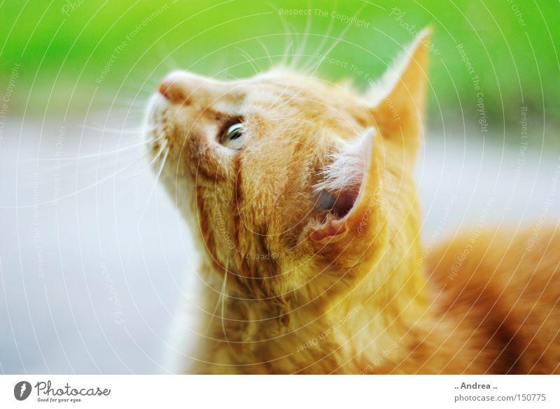 Cat Green Red Friendliness Pelt Mammal Domestic cat Whisker