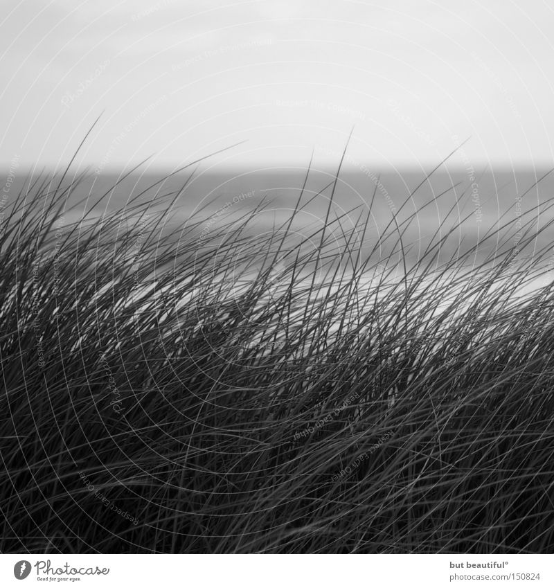 sylter days° Sylt Gray Common Reed Hope Wind Grass Black & white photo Ocean Autumn Loneliness Beautiful Beach Coast Sadness