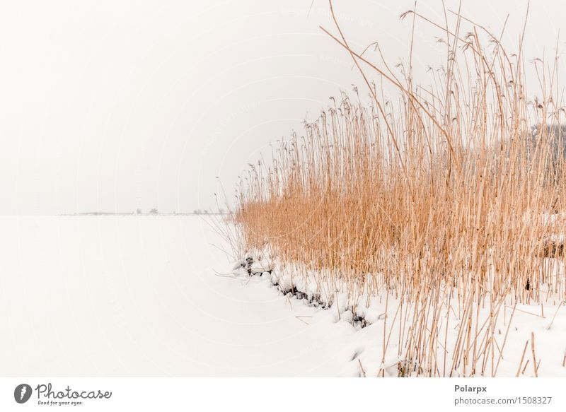 Rushes at wintertime Winter Snow Nature Landscape Plant Wind Fog Grass Park Pond Lake River Freeze Cool (slang) Natural Wild Brown White reed Frost cold