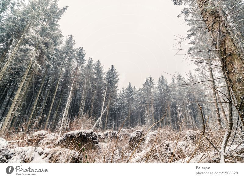 Pine trees in the winter Beautiful Winter Snow Environment Nature Landscape Sky Weather Fog Tree Grass Forest Cool (slang) Gray White Scandinavia Denmark