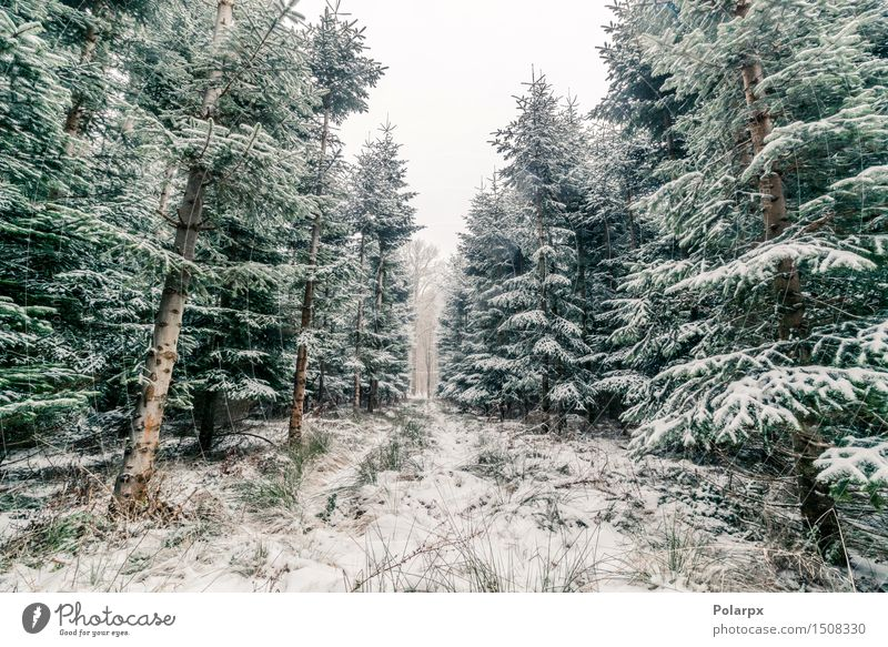 Pine trees in the winter Beautiful Vacation & Travel Winter Snow Mountain Environment Nature Landscape Plant Sky Climate Weather Fog Snowfall Tree Forest Bright