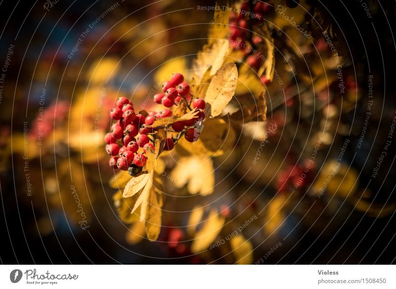 Spiraeoideae, or what? Plant Tree Faded Yellow Red Rawanberry Autumn Gold Illuminate Poison Leaf Berries Sunlight