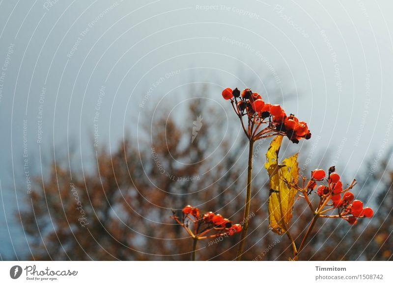 Ripe fruit. Nature Plant Sky Leaf Berries Natural Brown Yellow Red Transience Autumn Stalk Colour photo Deserted Copy Space top Day Artificial light
