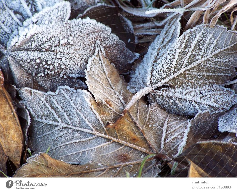 goose-skinned Winter Frost Leaf Cold Brown Ice Limp White Autumn Grief Old Loneliness Exterior shot Detail Snow