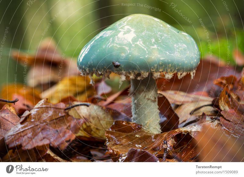 Blue Träuschling Environment Summer Autumn Forest Brown Green Orange Stropharia caerulea Mushroom forest mushroom forest mushrooms toadstool lamellar fungus
