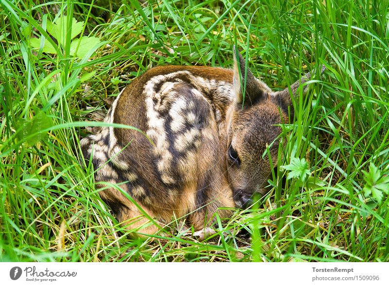 Fawn 2 Meadow Forest Baby animal Small Brown Green White Deer Even-toed ungulate Roe deer rumantia Thuringia trughirsche Ruminant Colour photo Exterior shot