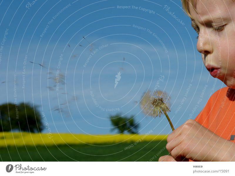 dandelion Child Dandelion Blow Boy (child)