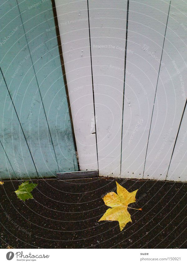 gold leaf Environment Nature Autumn Weather Rain Leaf Authentic Wet Natural Yellow Fence Wall (building) Floor covering Asphalt Maple tree Wooden wall White
