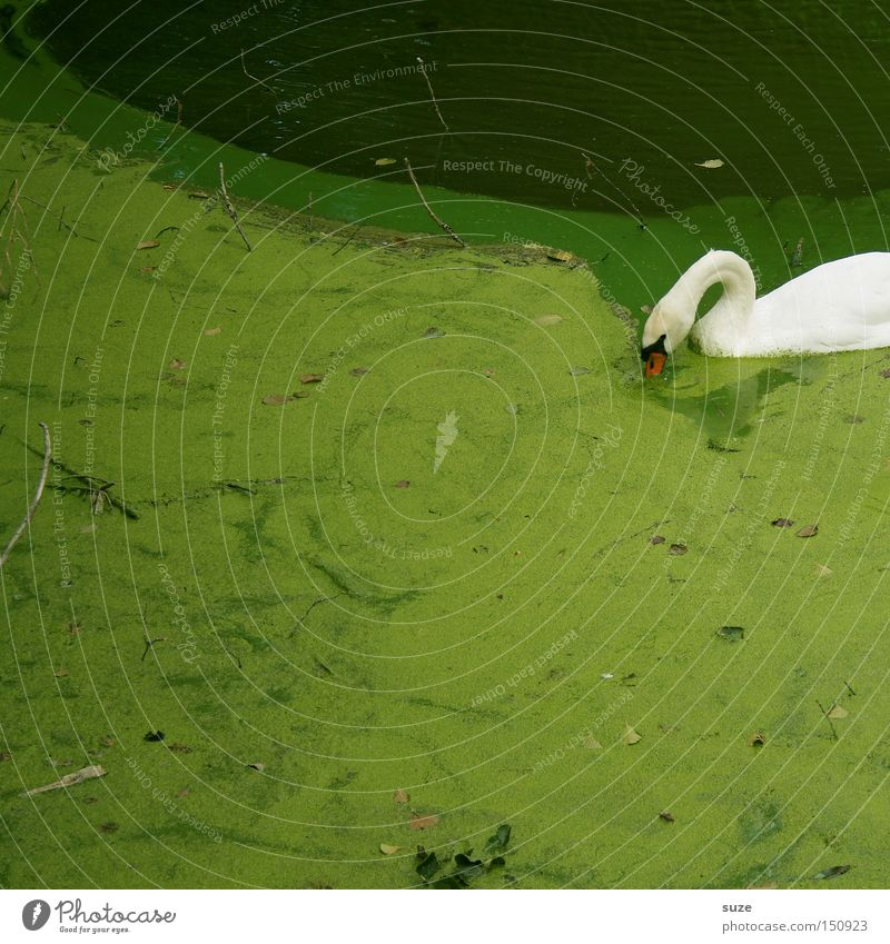 Nature Green White Plant Landscape Animal Environment Lake Swimming & Bathing Bird Park Wild animal Lakeside To feed Swan Surface of water