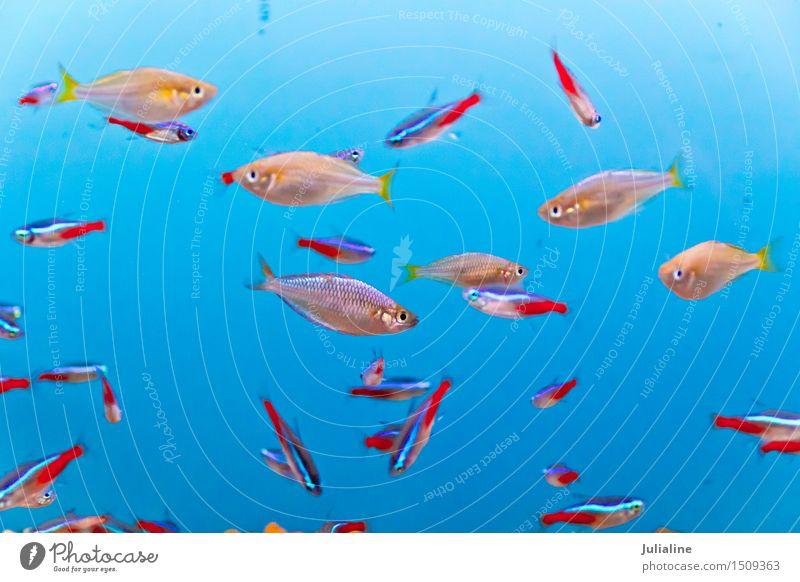 Aquarium fish in blue water Ocean River Small Under Turquoise scalare young Clown nemo Goldfish salt flock Colour photo Deserted