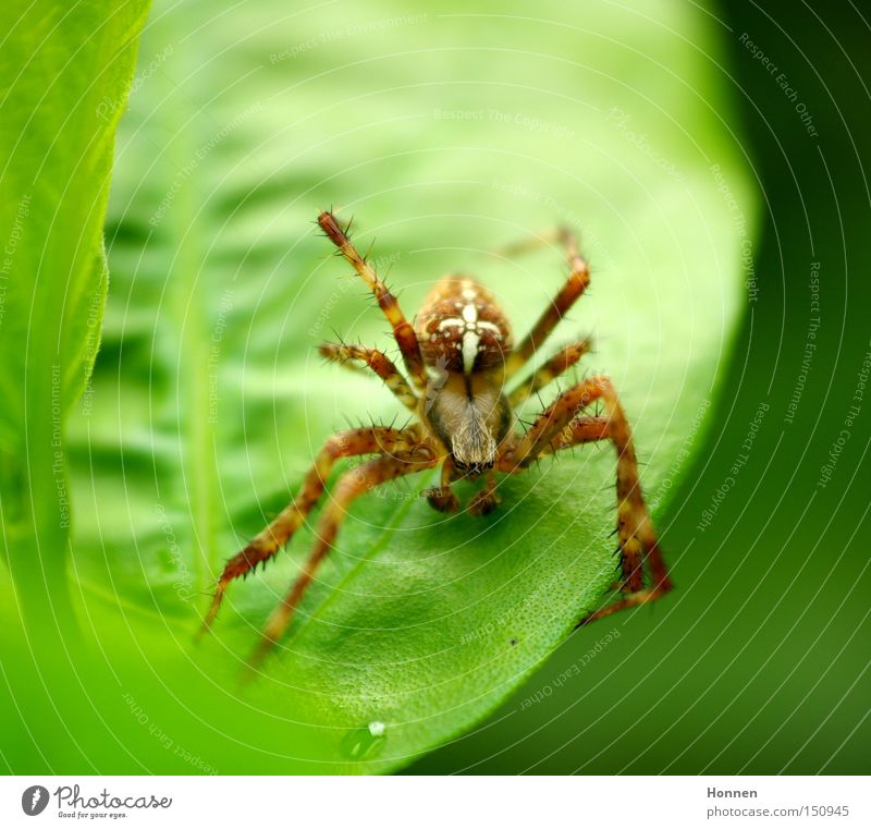 Nature Green Leaf Meadow Net Thief Orb weaver spider Cross spider