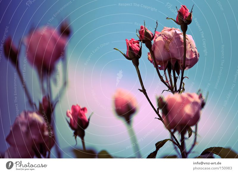 Pink Roses Blue Sky Plant Summer Flower Beautiful Park