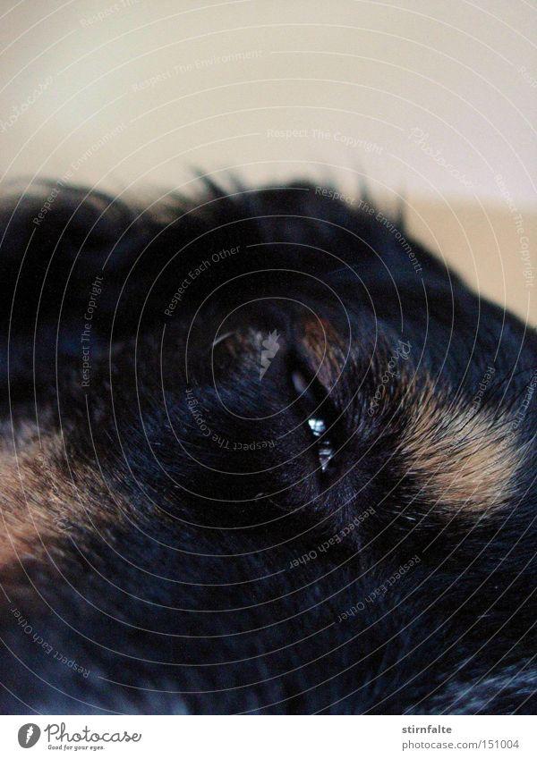 Dog Relaxation Calm Dark Black Eyes To enjoy Cute Sleep Break Pelt Fatigue Mammal Boredom Dreamily Loyalty