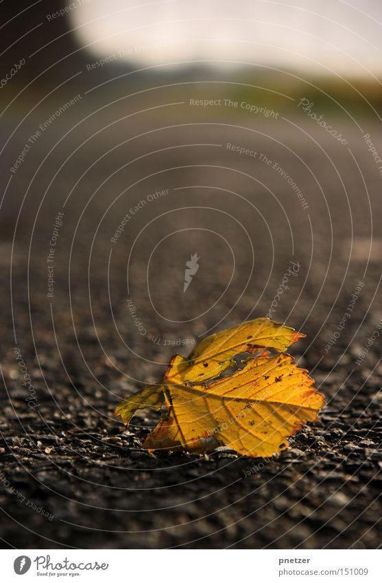 Tree Winter Leaf Yellow Cold Autumn Gray Lanes & trails Gloomy Asphalt To fall Dry Like Limp