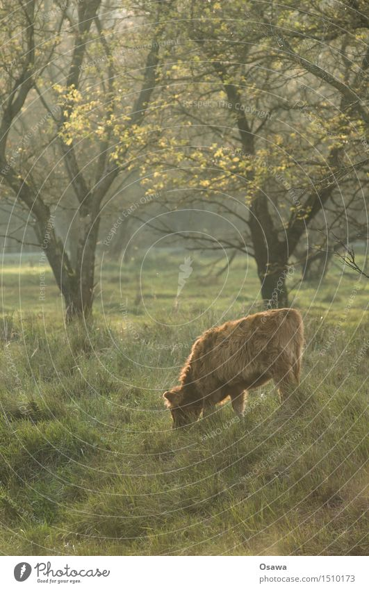 calf Nature Animal Tree Meadow Forest Pelt Wild animal Cow To feed Free Friendliness Cuddly Small Calf Cattle Bull Bushy Clearing Pasture Colour photo