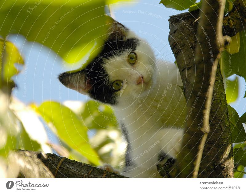 Cat Tree Animal Small Climbing Pelt Pet Domestic cat Paw Blue sky Kitten Caress Cherry tree Fruit trees