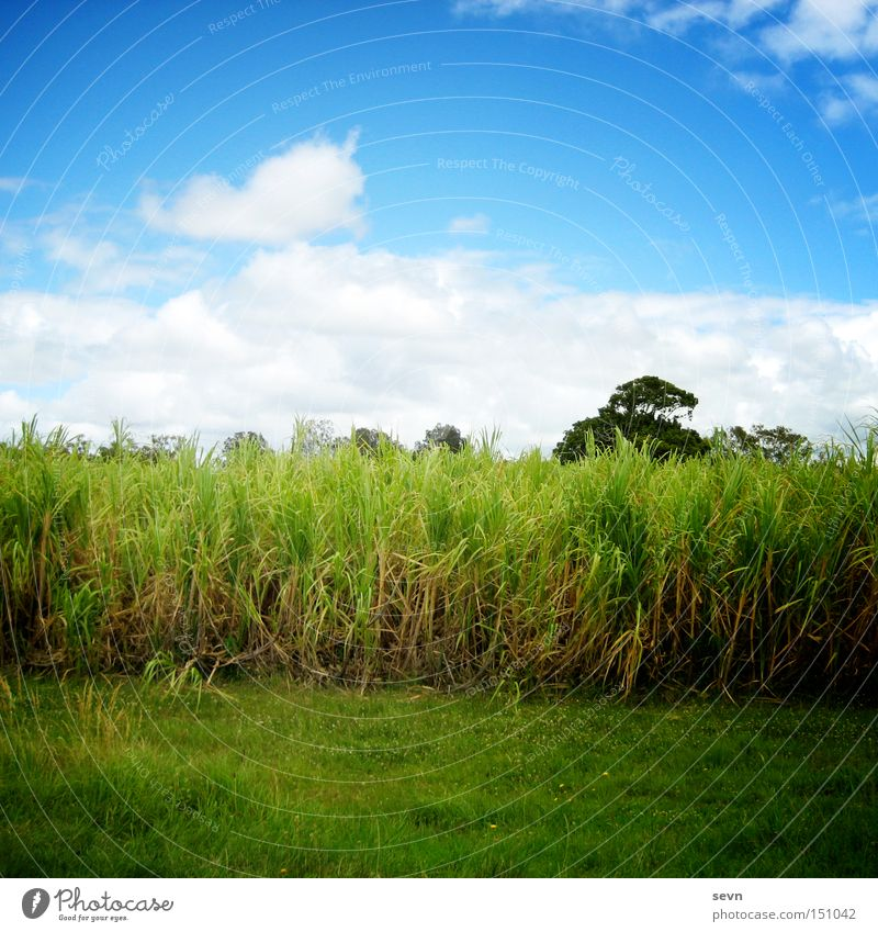 Sky Blue White Green Tree Summer Clouds Meadow Grass Field Grain Wheat Maize