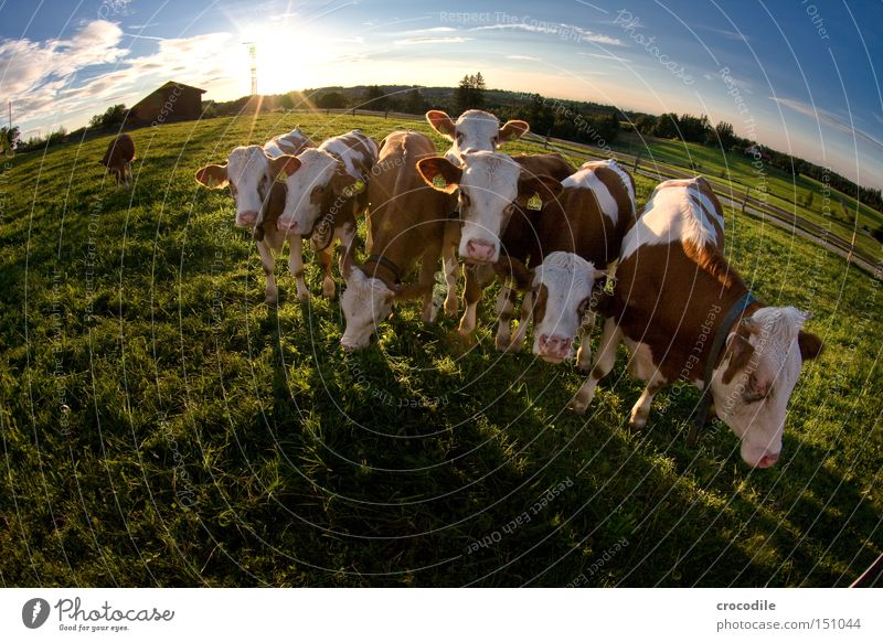 Sun Clouds Meadow Ear Cow Antlers Patch Mammal Herd Calf Speckled Fisheye Cattle