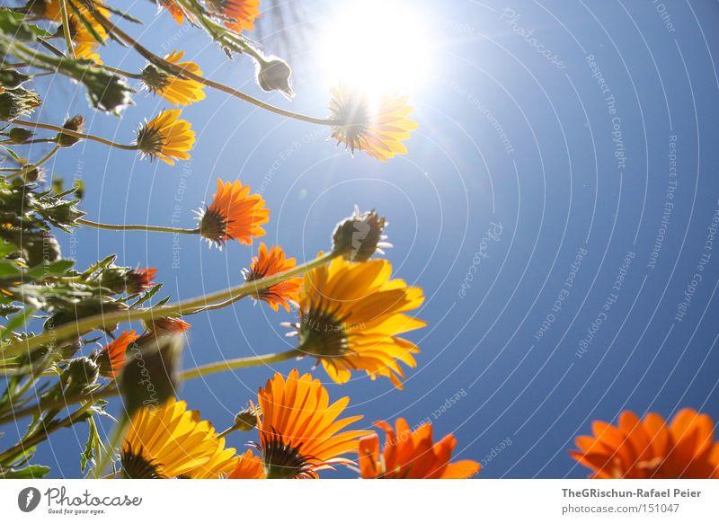 Sky Sun Flower Green Blue Yellow Life Lighting Orange Growth Blossoming Maturing time