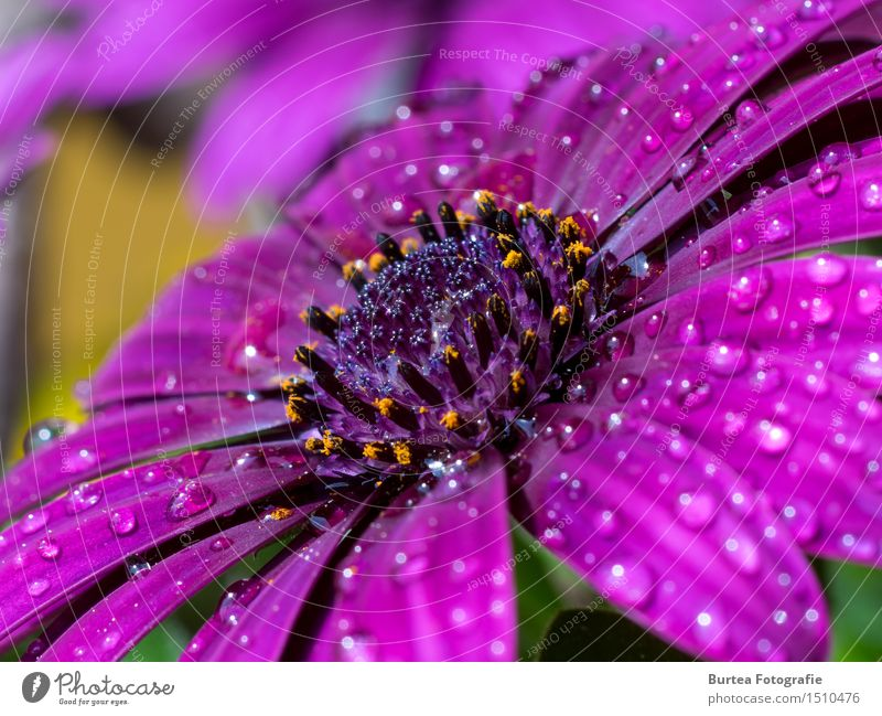 Rain is gone Nature Plant Water Flower Blossom Garden Pink Cape basket Colour photo Exterior shot Macro (Extreme close-up) Deserted Day Light Long shot