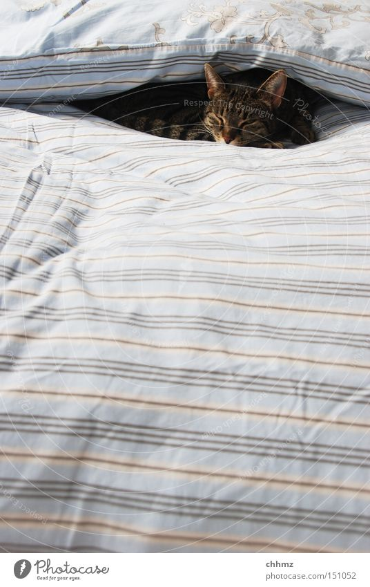 covered Cat Domestic cat Hung-over Warmth Soft Cuddly Winter Cozy Sleep Doze Twilight Bed Stripe Striped Mammal Bedroom duvet