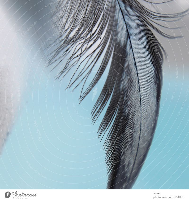 White Black Decoration Feather Grief Soft Delicate Easy Distress Smooth Light blue Fuzz Titillation Tiny hair