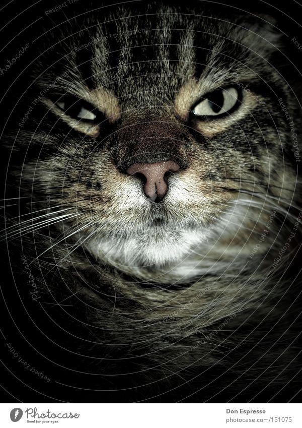 Eyes Animal Dream Cat Looking Sleep Creepy Fatigue Evil Disaster Mammal Pet Domestic cat Meow Unfriendly Ferocious