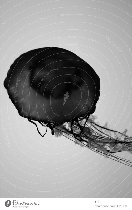 Jellyfish III Ocean Living thing Nettle animal Slimy Underwater photo Beach Burn Sea water Aquarium Mollusk Black & white photo Fish Deep immersion toxic