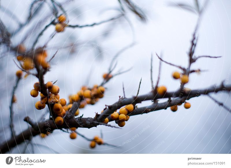 Nature Blue Plant Autumn Death Orange End Transience Point Past Berries Thorn Thorny Hopelessness