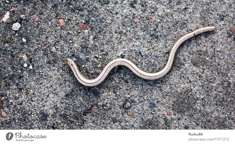 Blind Snake Nature Wild animal 1 Animal Freedom Slow worm Saurians Lateral fold lizards Colour photo Exterior shot Deserted Day