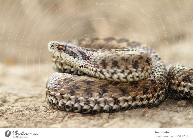 close up of female meadow viper Woman Adults Nature Animal Meadow Snake Wild Gray Dangerous Colour scales adder Reptiles rakosiensis Photography poisonous