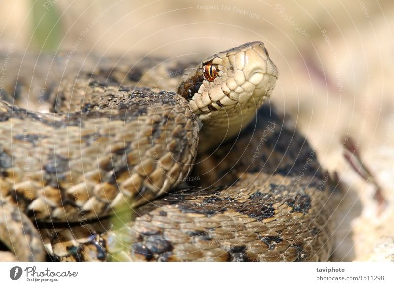 close up of meadow viper Woman Nature Beautiful Colour Animal Adults Meadow Gray Wild Dangerous Europe Photography Protection Living thing European Poison