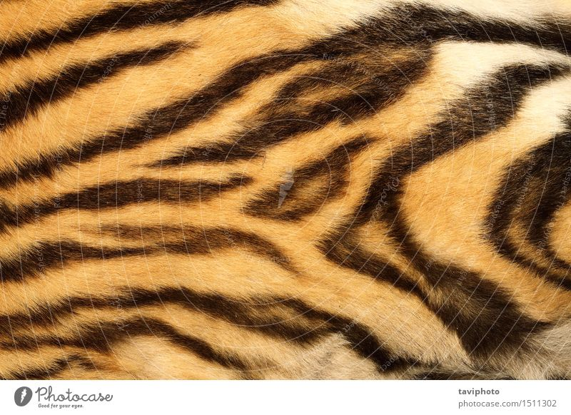 closeup on real tiger fur Design Beautiful Skin Animal Virgin forest Fur coat Leather Hair Cat Stripe Old Authentic Natural Wild Brown Yellow Black Colour