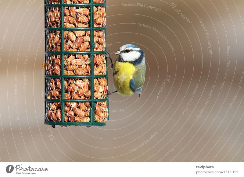 eurasian blue tit eating peanuts Eating Winter Garden Nature Animal Forest Bird Observe Feeding Sit Small Sustainability Natural Cute Wild Blue Yellow Black