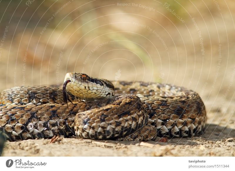 meadow adder on ground Beautiful Woman Adults Nature Animal Meadow Snake Wild Brown Fear Dangerous Colour rakosiensis ursinii vipera Viper Ground Reptiles