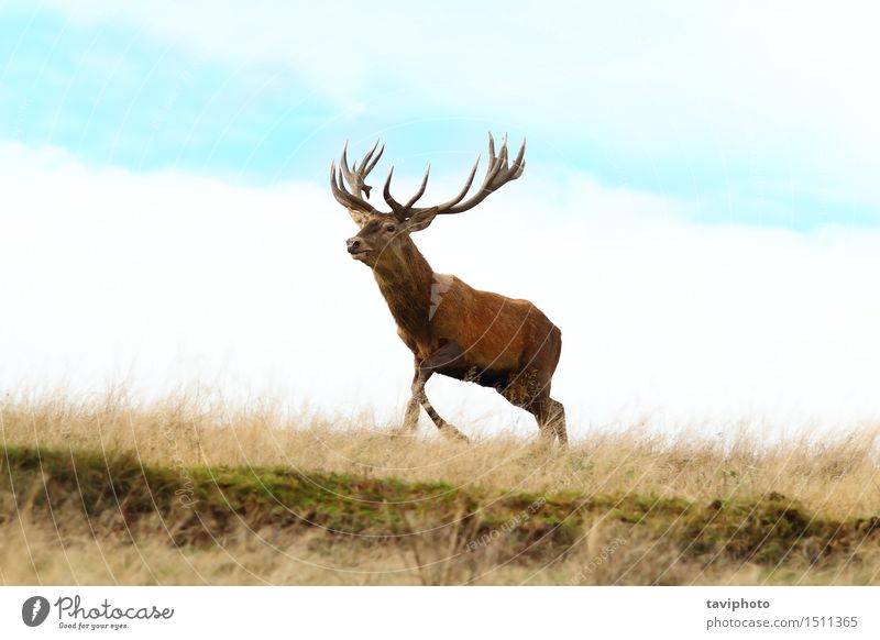 red deer buck running on top of a hill Nature Man Beautiful Colour Red Landscape Animal Adults Environment Autumn Meadow Grass Natural Playing Brown Park