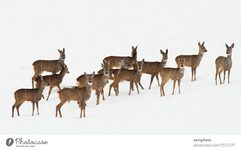 roe deer herd over white snow Nature Beautiful White Animal Winter Snow Group Brown Wild Observe Photography Frost Frozen European Hunting Mammal