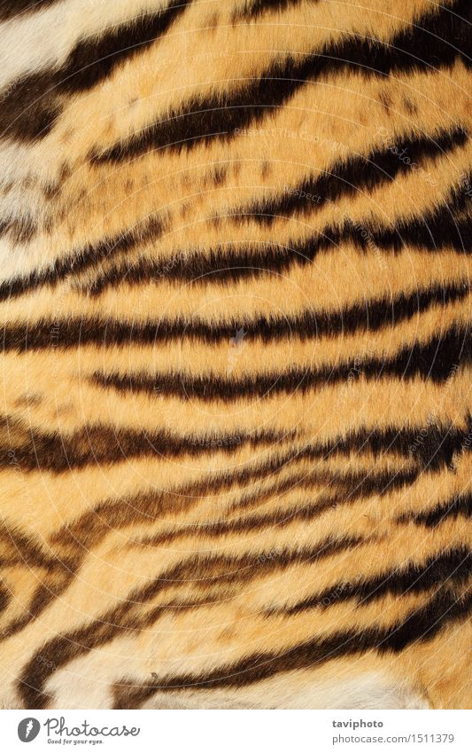 tiger real fur Cat Nature Beautiful Animal Black Yellow Style Brown Design Wild Hair Decoration Wild animal Authentic Skin Stripe