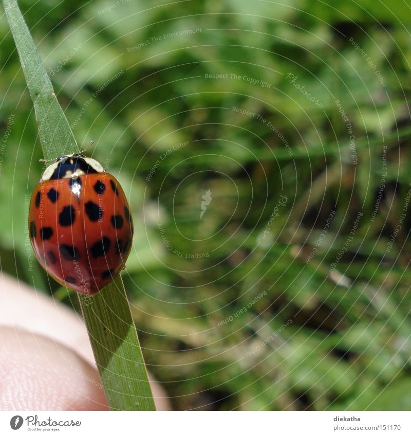 anisosticta novemdecimpunctata Ladybird 19 Point Animal Beetle Grass Insect Blade of grass Hand Summer Red Green