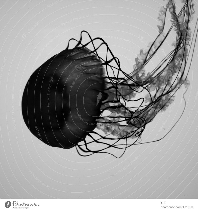 Jellyfish IV Ocean Living thing Nettle animal Slimy Underwater photo The deep Beach Burn Sea water Aquarium Mollusk Black & white photo immersion toxic